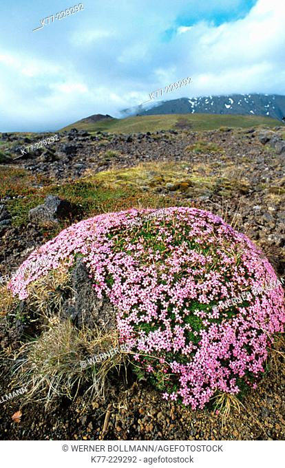 Moss Campion (Silene acaulis). Iceland
