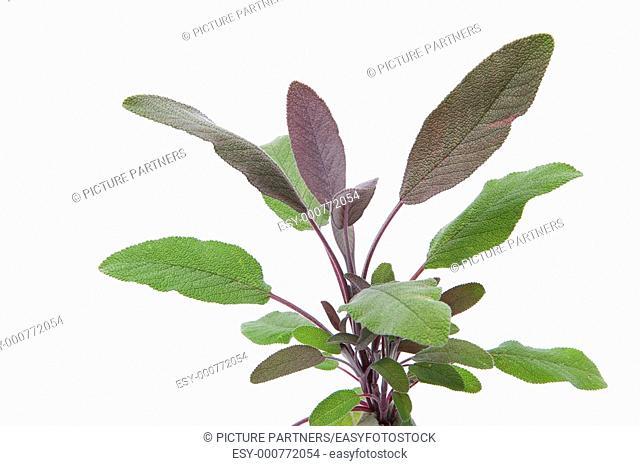 Purple sage leaves On White Background