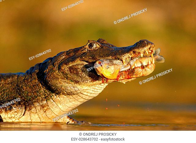 Yacare Caiman, crocodile with piranha fish in with evening sun