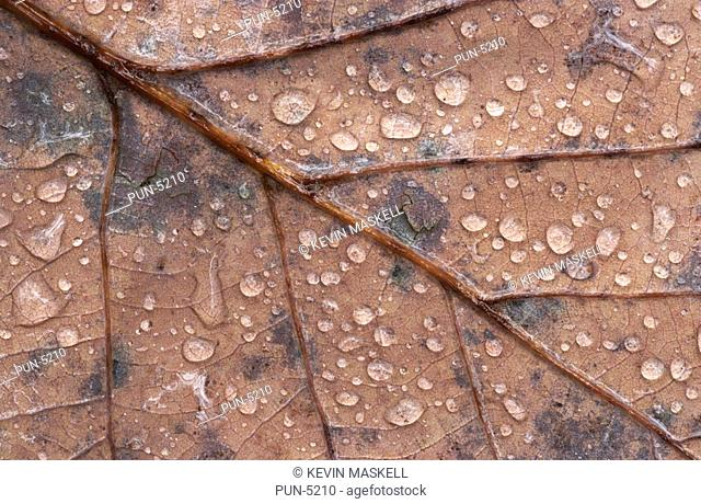 Close-up composition of water droplets on oak leaf in wood in Lake District