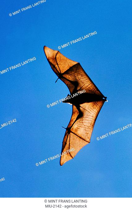 Flying fox in flight, Pteropus sp., Madagascar