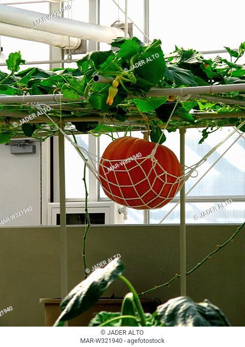 vertical cultivations, pumpkins, epcot center, orlando, florida, usa