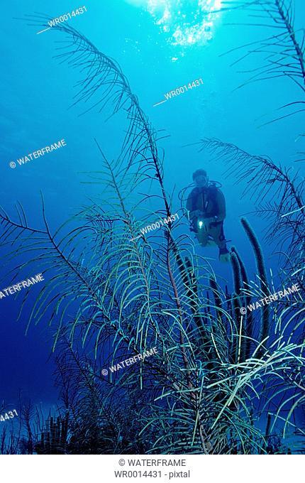 Diver with Soft Corals, Caribbean Sea, Cuba