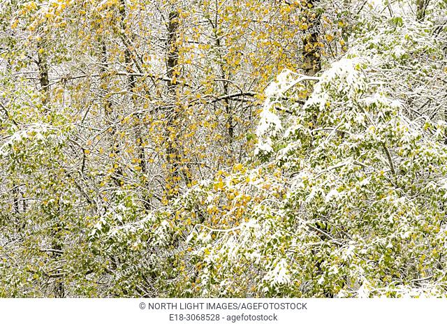 USA, WA, Bellingham, Lake Samish. Trees with bright fall color on the leaves covered in snow