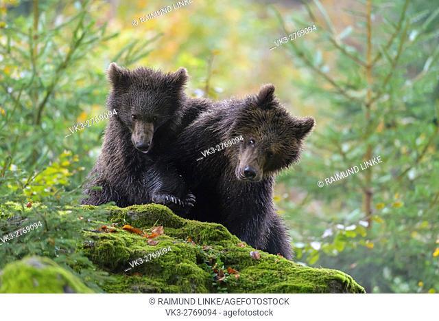 Brown Bear, Ursus arctos, Two cubs playing, Bavaria, Germany