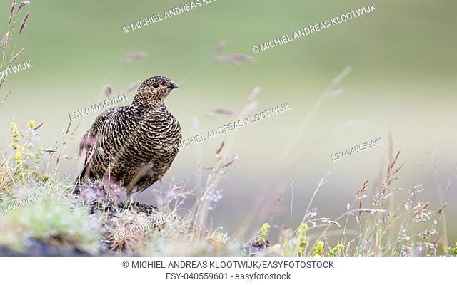 Rock ptarmigan (Lagopus mutus), female - Nature in Iceland