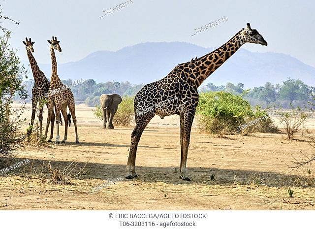 Rhodesian / Thornicroft giraffe (Giraffa camelopardalis thornicrofti) and elephant (Loxodonta africana) South Luangwa National Park, Zambia