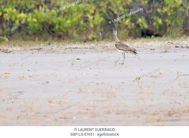 Bird, Blowpipe-Galician, Lençois, Atins, Maranhão, Brazil