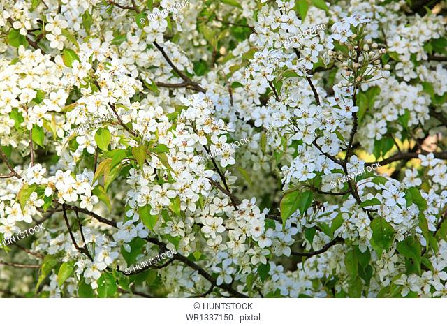 Cherry Blossom trees in spring at the Arnold Arboretum, Boston, Massachusetts, USA