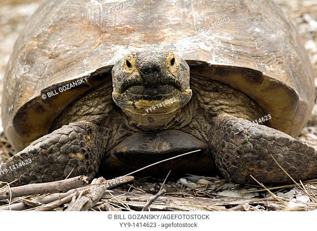 Gopher Tortoise - Sanibel Island, Florida USA