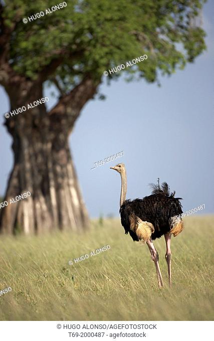 Ostrich. Struthio camelus. Tarangire National Park. Tanzania