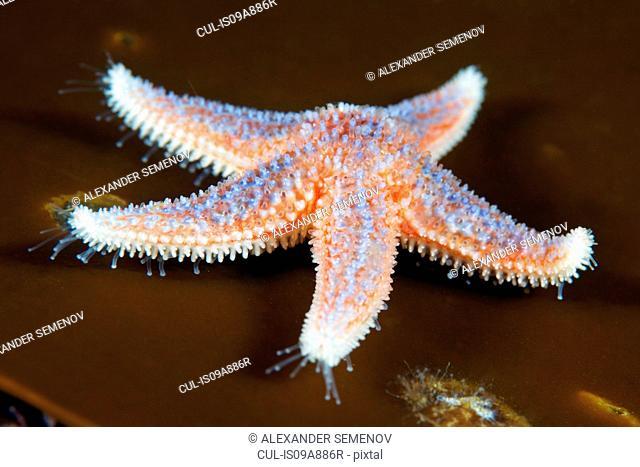 Common starfish, (Asterias rubens)