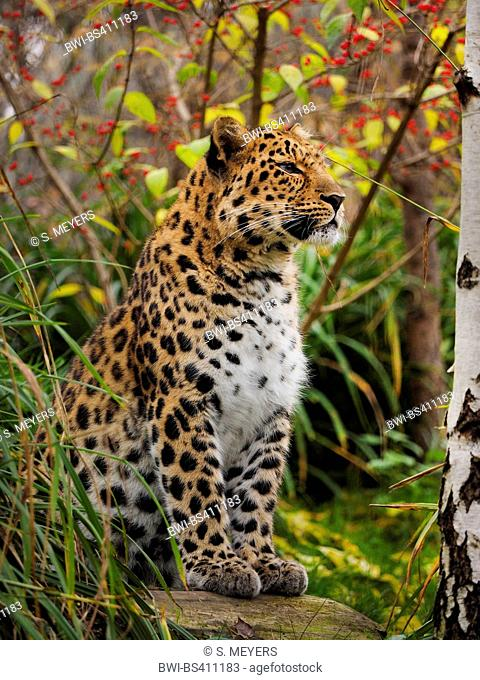 Amur leopard (Panthera pardus orientalis), sitting on a boulder in the thicket