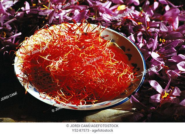 Saffron flower stigmas. Consuegra, Toledo province, Castile-La Mancha, Spain
