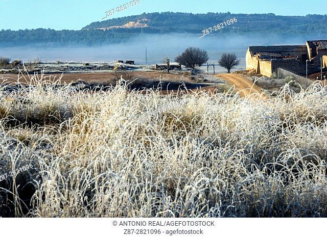 Frozen esparto grass (Stipa tenacissima). Almansa. Albacete province. Spain