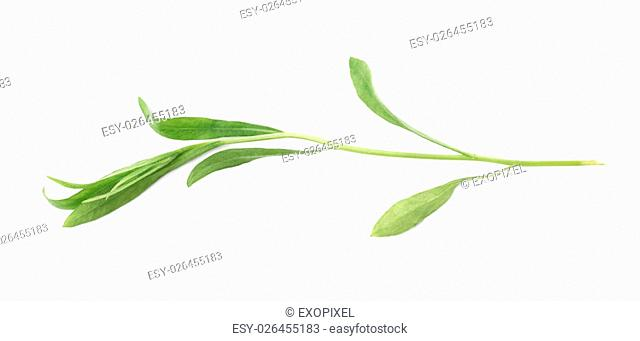 Green leaves of the Tarragon Artemisia dracunculus perennial aromatic culinary herb isolated over the white background