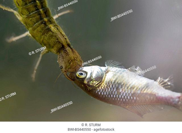 Great diving beetle (Dytiscus marginalis), larva feeding on young roach, Germany, Bavaria