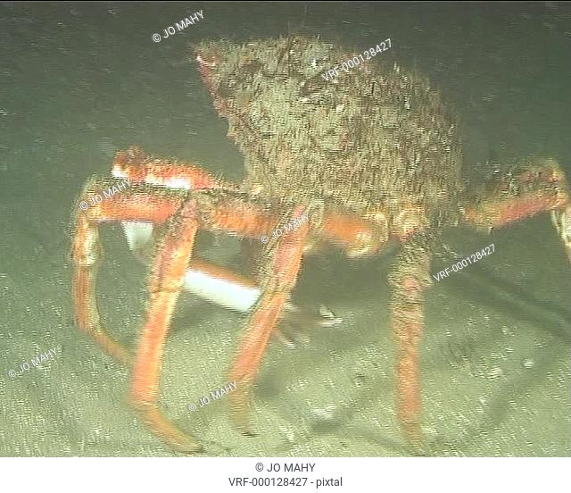 Spidercrab at night walking away along Seabed MS. English waters, United Kingdom