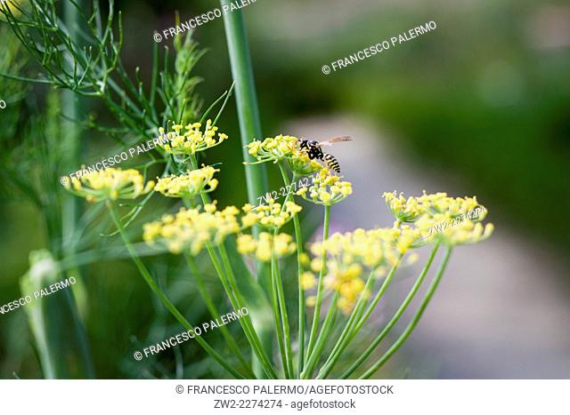 Details of the flower of dill and bee pick a pollen. Mouans-Sartoux, Provence-Alpes-Côte d'Azur. France