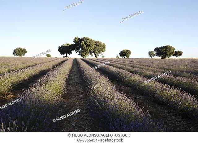 Lavender fields in Brihuega Guadalajara. Spain