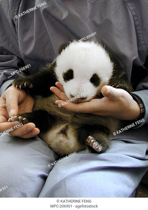 GIANT PANDA Ailuropoda melanoleuca, CUB HELD BY WORKER AT THE CHINA CONSERVATION AND RESEARCH CENTER FOR THE GIANT PANDA, WOLONG NATURE RESERVE, CHINA