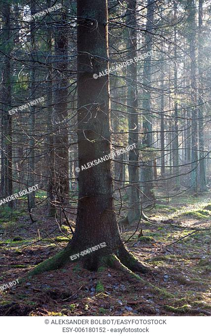 Sunbeam entering coniferous stand in misty morning with old spruce tree in foreground