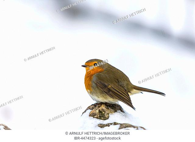 Robin (Erithacus rubecula) sitting on stone, prancing, winter, Baden-Württemberg, Germany