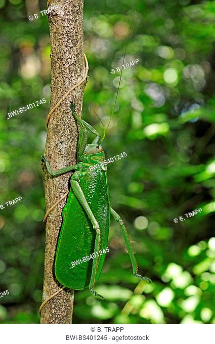 bush cricket (Stilpnochlora cf. couloniana ), at a branch in the tropical rainforest, New Caledonia, Ile des Pins