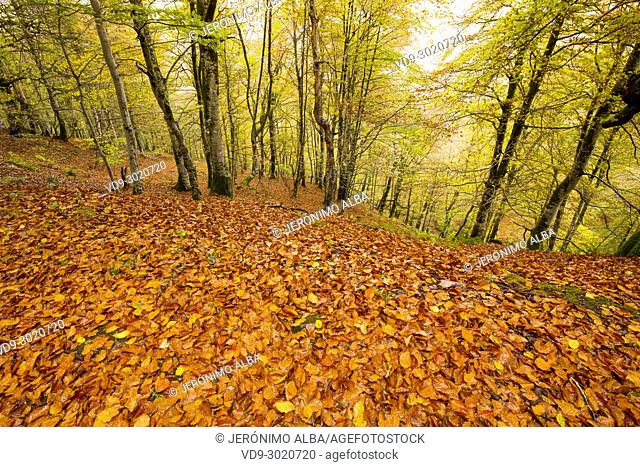 Autumn leaves landscape, Saja Natural Park, Saja-Nansa, Cantabria, Spain Europe