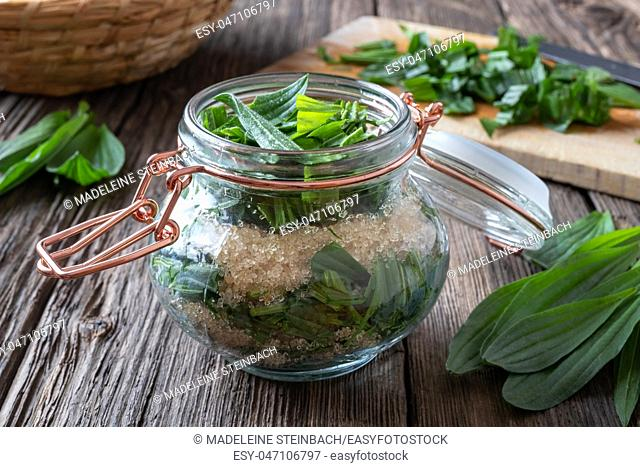 A jar filled with fresh ribwort plantain leaves and cane sugar, to prepare herbal syrup against cough