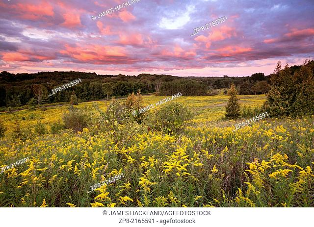 A Field of Goldenrod during a spectacular sunset at Rogers Reservoir, East Gwillimbury, Ontario, Canada