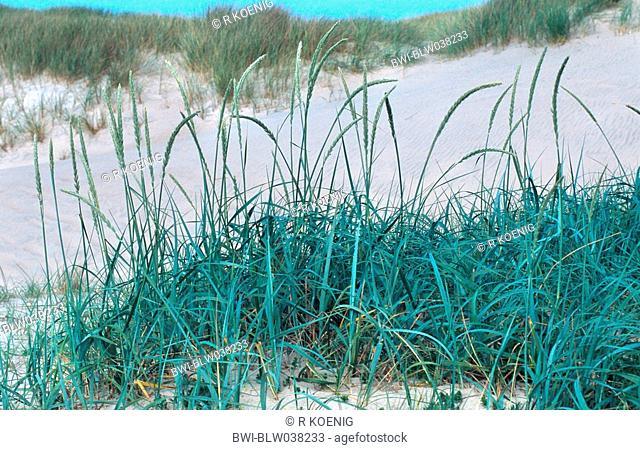 blue lyme grass Elymus arenarius, Lymus arenarius, blooming plant