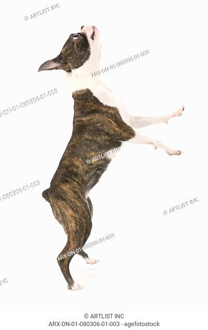 A standing dog