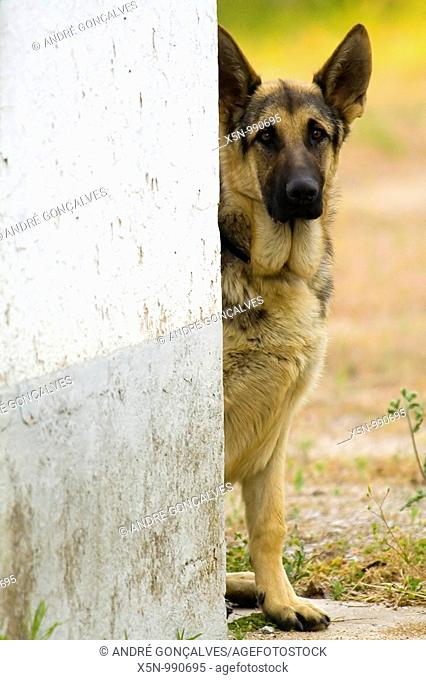 German Shepherd, Evora, Portugal
