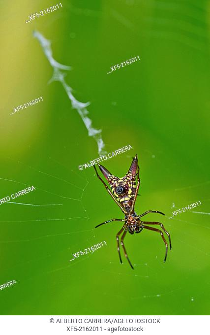 Spider, Micrathena sagittata,Tropical Rainforest, Marino Ballena National Park, Uvita de Osa, Puntarenas, Costa Rica, Central America, America
