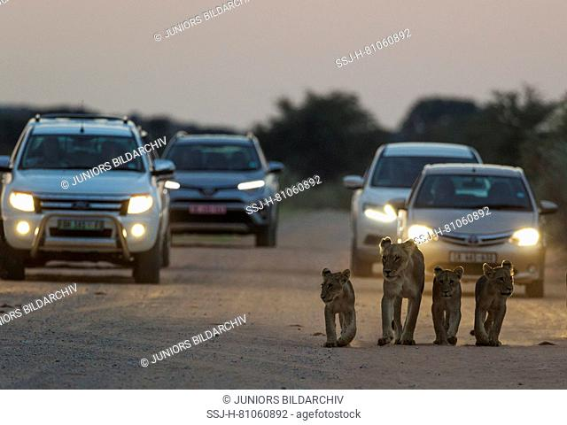 African Lion ( Panthera leo) female with three cubs walking on the road at dawn. The cars behind just left a camp for the morning game drive