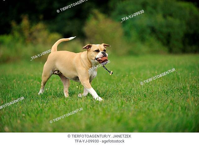 playing Continental Bulldog