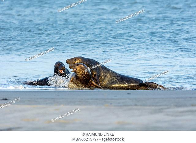 Grey Seal, Halichoerus grypus, Couple in Mating Season, Europe