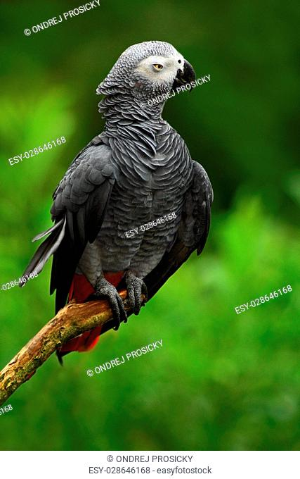 African Grey Parrot, Psittacus erithacus, sitting on the branch