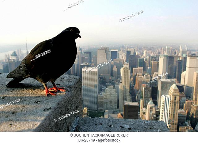 USA, United States of America, New York City: Pigeon on the viewing plattform of the Empire State Building