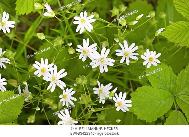 easterbell starwort, greater stitchwort (Stellaria holostea), blooming, Germany