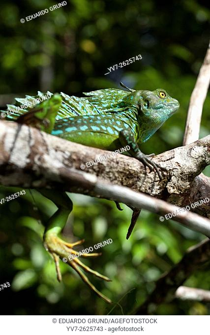 Green basilisk or double crested basilisk (Basiliscus plumifrons) Male. Tortuguero, Costa Rica, Central America