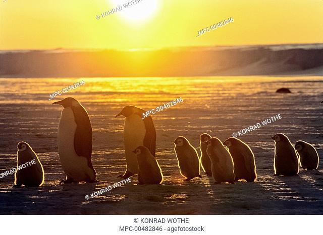 Emperor Penguin (Aptenodytes forsteri) adult pair with chicks walking at sunset, Weddell Sea, Antarctica