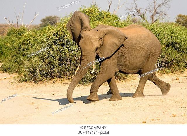 African elephant - running / Loxodonta africana