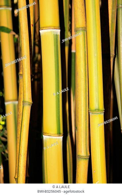 Madake, Giant Timber Bamboo, Japanese Timber Bamboo Phyllostachys bambusoides 'Castilloni', sprouts