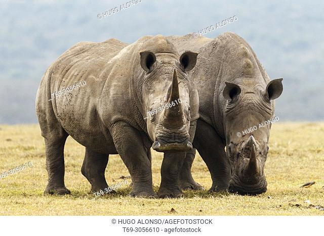 Two White rhinocero or square-lipped rhinocero. Ceratotherium simum.. Kenia. Africa.. Kenia. Africa