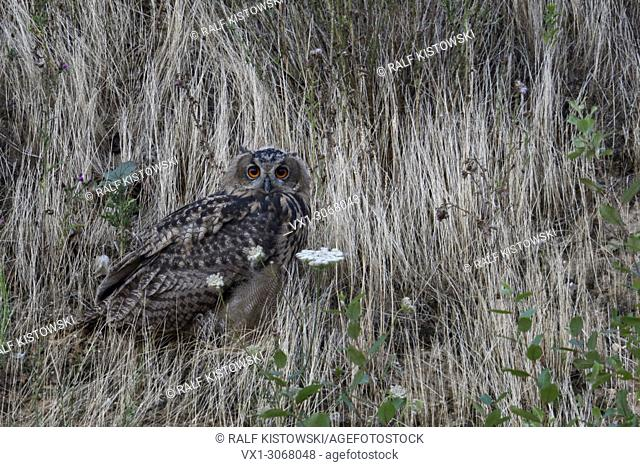 Eurasian Eagle Owl ( Bubo bubo ), young bird, perched between grass in the slope of a gravel pit, watching, nice side view, wildlife, Europe