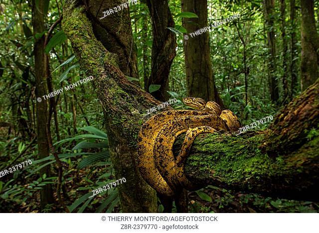 Corallus hortulanus - Cook boa - in the rainforest. French Guiana