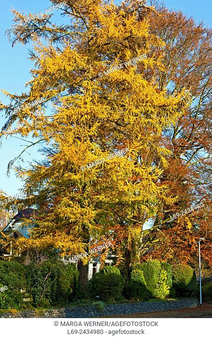 Larch tree (Larix) and beech tree (Fagus sylvatica), autumn foliage, Schleswig-Holstein, Germany, Europe
