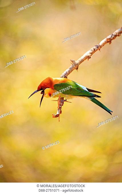 Sri Lanka, Yala national patk, Chestnut-headed bee-eater (Merops leschenaulti), regurgitates food scraps